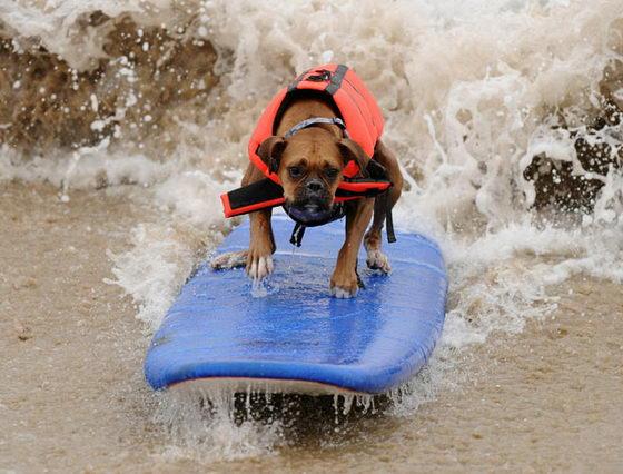 Соревнования среди собак по серфингу в Калифорнии (ФОТО)