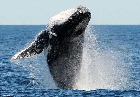 синий кит горбатый