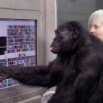 Шимпанзе Канзи знает 450 слов и может общаться с человеком