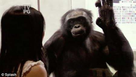 Шимпанзе Канзи