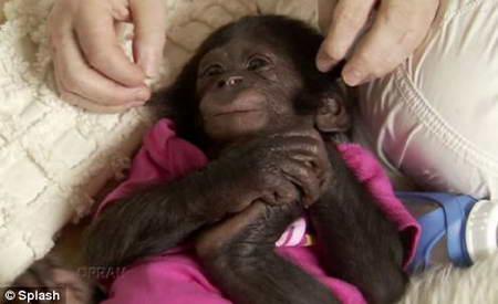 Шимпанзе Теко