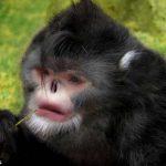 Редкая находка: обезьяна с перевернутым носом чихает во время дождя
