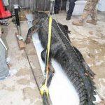 Самый большой крокодил в мире пойман во Флориде