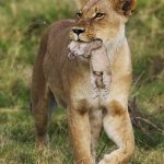 Жизнь зверей. Любовь львицы к своим детенышам