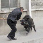 Китайский полицейский убил кабана нападавшего на людей в городе Тайюань