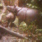В Индонезии сфотографировали детенышей самого редкого носорога в мире