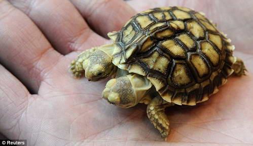 Черепаха мутант с двумя головами родилась в Словакии