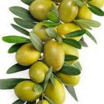Помогут ли таблетки из оливкового масла бороться с сердечными приступами