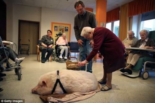 Миниатюрные свиньи и старики