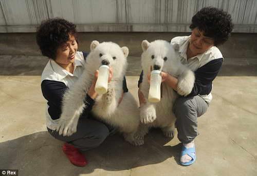 Двойня белых медвежат выжившие без матери впервые показаны в Китае