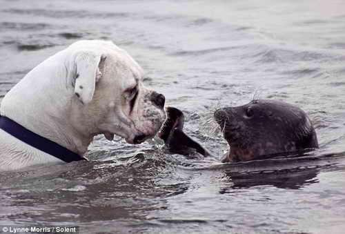 Боксер и тюлень