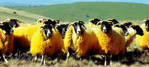 Оранжевые овцы
