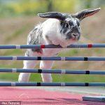 Новое увлечение в мире: скачки кроликов с препятствиями