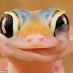 Удивительная приспособленность хамелеона пить утреннюю росу со своих глаз