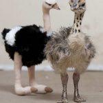 Брошенный страусенок нашел семью в обществе игрушечного страуса
