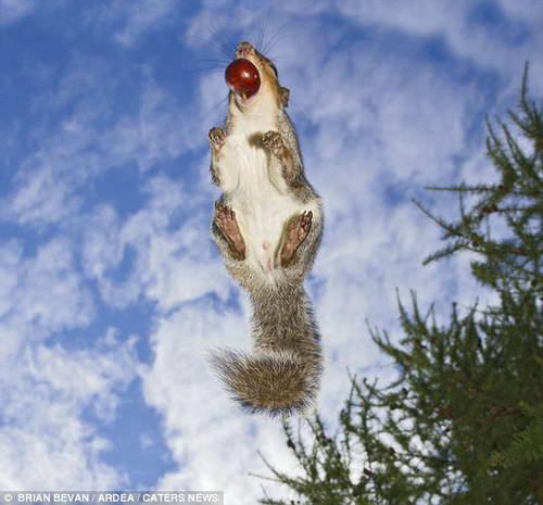 летающая белка