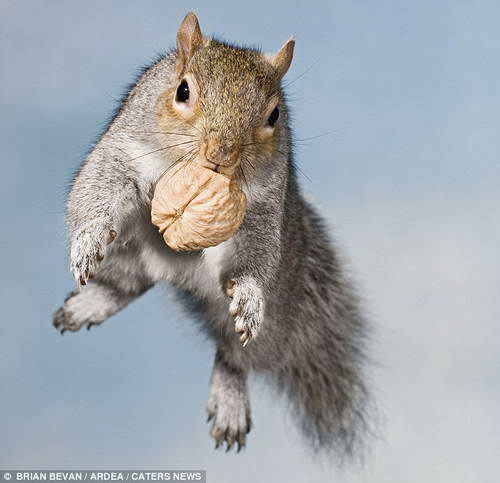 Белка с грецким орехом