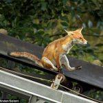 Удивительный молодой лисенок любит кататься на ленте транспортера