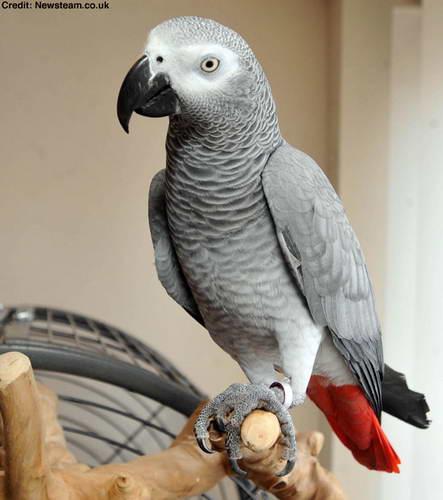 Попугай, который умеет говорить на двух языках