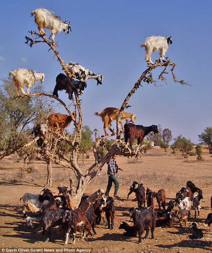дурные козы