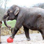 Издевательства над слонихой Энн благополучно закончились