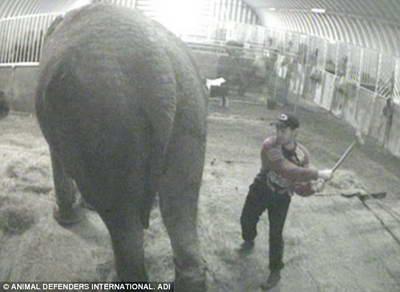Румынский гастербайтер избивает слониху вилами