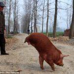 Китайский поросенок, который ходит на двух передних ногах
