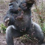 Горилла Кумбука отстреливается камнями и грязью от настойчивых фотографов