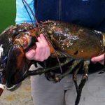 Лобстер-монстр, весом более 12 кг, попался рыбаку на атлантическом побережье штата Мэн