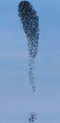 Стая 5000 птиц в виде восклицательного знака