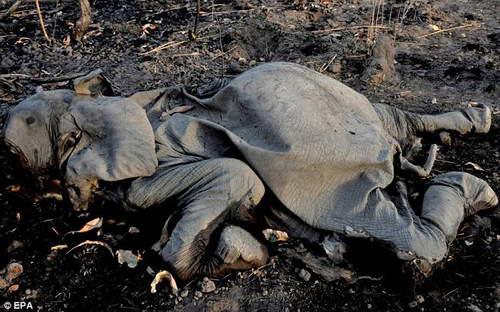 Убийство слонов из-за бивней