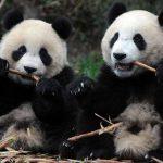 Эти смешные панды не поделили дерево на четверых