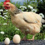 Курица Джессика снесла яйцо в три раза больше обычного — 170 грамм
