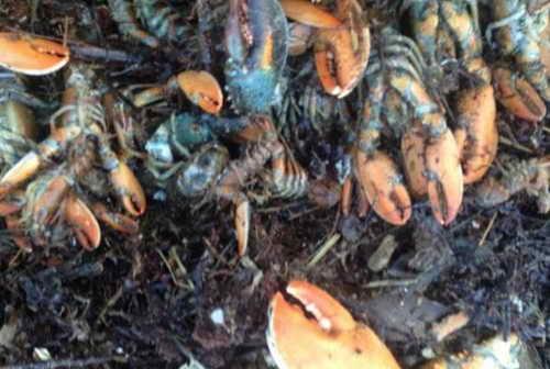 Шторм Немо выбросил тысячи омаров на берег Массачусета