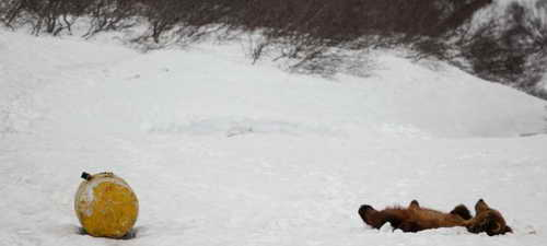 На Камчатке медведи стали наркоманами: нюхают бензин и керосин до нирваны