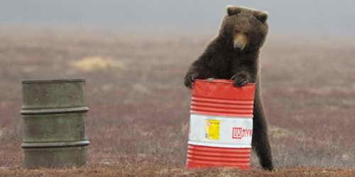 Медведь ищет керосин в брошенных бочках