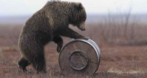 Медведь тащит к себе бочку с керосином