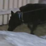 Служебная собака нашла пистолет и случайно лапой произвела выстрел