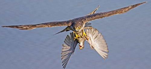 Уникальные фотографии охоты пернатых хищников