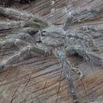 Огромный паук тарантул размером с голову человека обнаружен на Шри-Ланке
