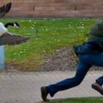 Почему пара гусей терроризирует студентов университета Уорвика