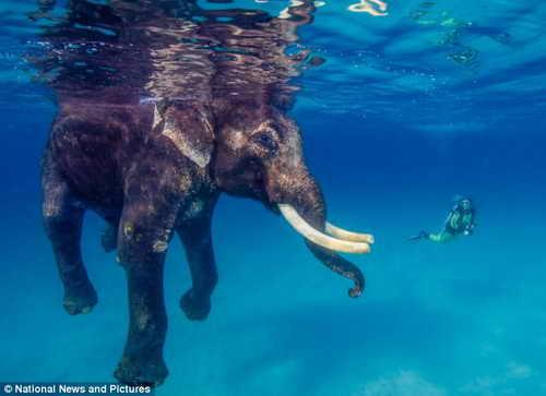 Слон Раджан любит погружаться в мору
