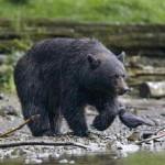 Медведь убил человека под Воронежем