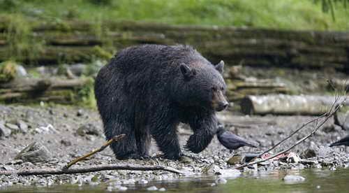 На Аляске полицейские выследили и убили медведя напавшего на людей