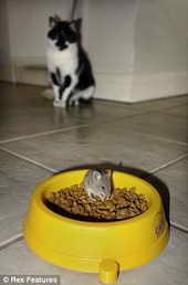 Кот Манго убежал от крмушки с мышью