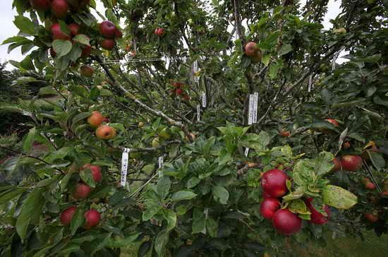 Яблочный спас Волшебная яблоня