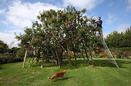 Яблоня с 250 сортами яблок