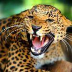 Дикий леопард напал на индийскую деревню