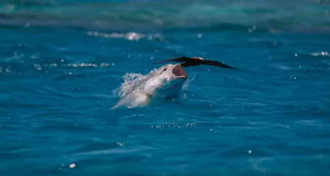 Охота на птицу гигантского каранкса (рыба)
