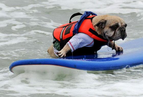 Собака серфингист